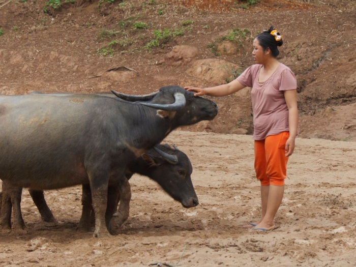 Woman caring for the buffalo