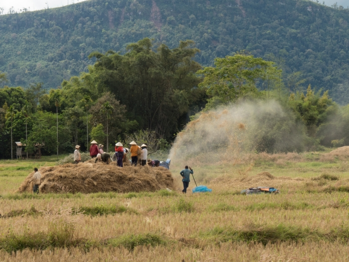 Rice Harvesting on the Boloven Plateau