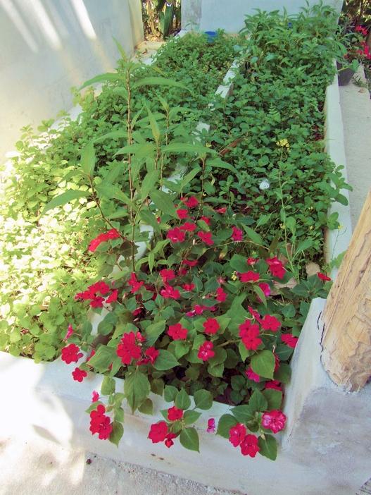 Our mint garden