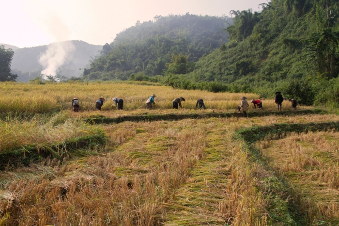 Harvesting Rice in the fields